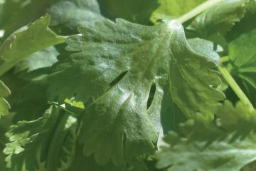 How To Grow Cilantro---1200x520