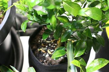 Lime-tree-fb