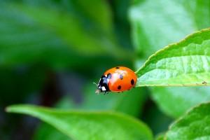 ladybug-242152_1280