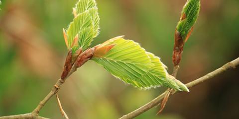 new-growth-fb-beech-tree